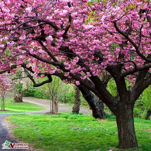 Cây Hoa Anh Đào
