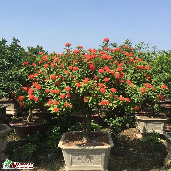 Cây Hoa Mẫu Đơn ( Bông Trang Đỏ )