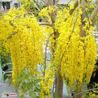 Cây Muồng Hoàng Yến ( Osaka Hoa Vàng )