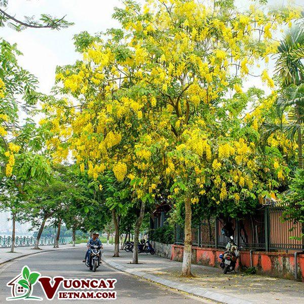 Các Điểm Tốt Khi Lựa Chọn Mua Bán Cây Osaka Hoa Vàng Tại Vườn Cây Việt Nam
