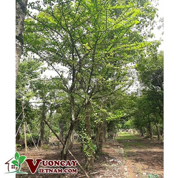 Các Điểm Tốt Nhất Khi Lựa Chọn Mua Bán Cây Đào Tiên TạiVườn Cây Việt Nam