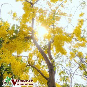 Địa Chỉ Chuyên Mua Bán Cây Osaka Hoa Vàng Cổ Thụ Tươi Xanh Khỏe Mạnh Tại Hà Nội