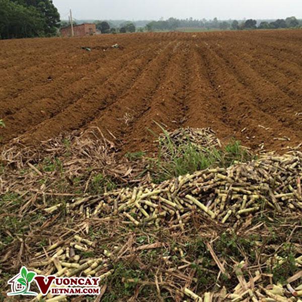 Đất phù sa trồng được cây gì