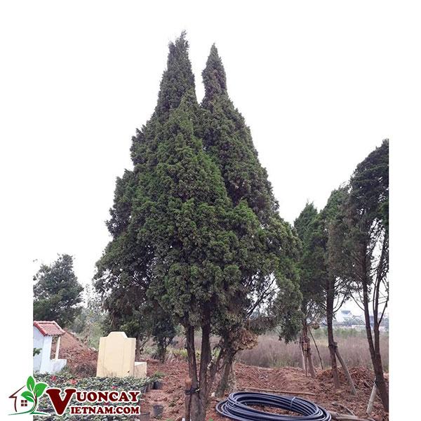 Kỹ Thuật Trồng Và Chăm Sóc Cây Tùng Tháp ( Cây Ngọc Tùng ) Vườn Cây Việt Nam