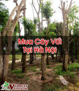 Mua Cây Vối Tại Hà Nội