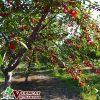 Cây Cherry ( Quả Sơ Ri )