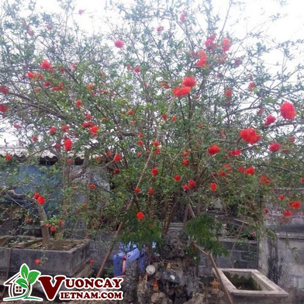 Cây Lựu Hạnh ( Kim Bàng )