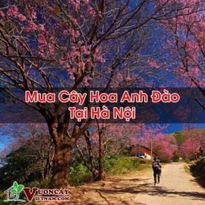 Mua Cây Hoa Anh Đào Tại Hà Nội