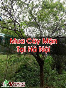Mua Cây Mận Tại Hà Nội