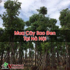Mua Cây Sao Đen Tại Hà Nội