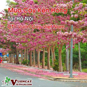 Mua Cây Kèn Hồng Tại Hà Nội
