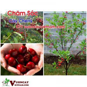 Chăm Sóc Cây Cherry